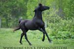 solid black arabian stallion head toss canter