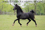 black arabian 4 white socks trot