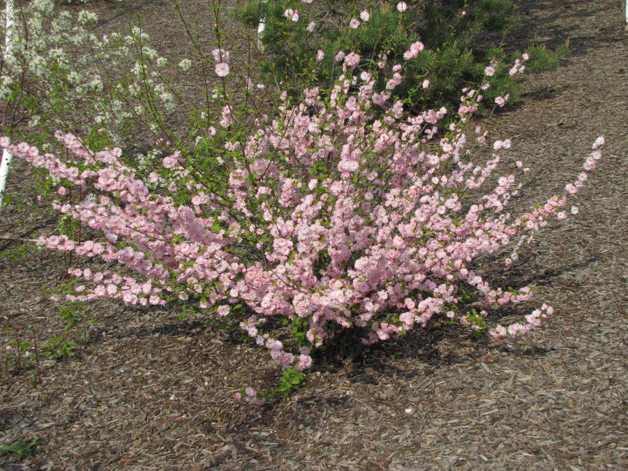 Pink flower bush by temari10001 on deviantart pink flower bush by temari10001 mightylinksfo