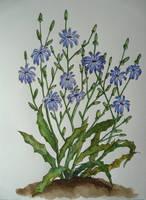 Cichorium intybus by Woodswallow