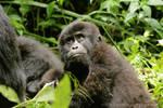 Gorila in Uganda