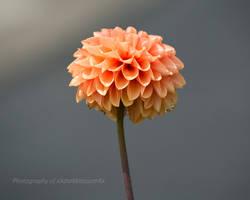Pink Dahlia by xXdarkblossomXx