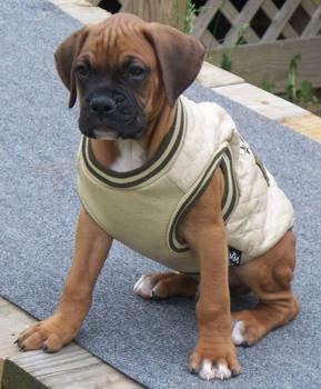 Tyson puppy stock