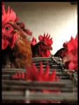 Chicken Series 12