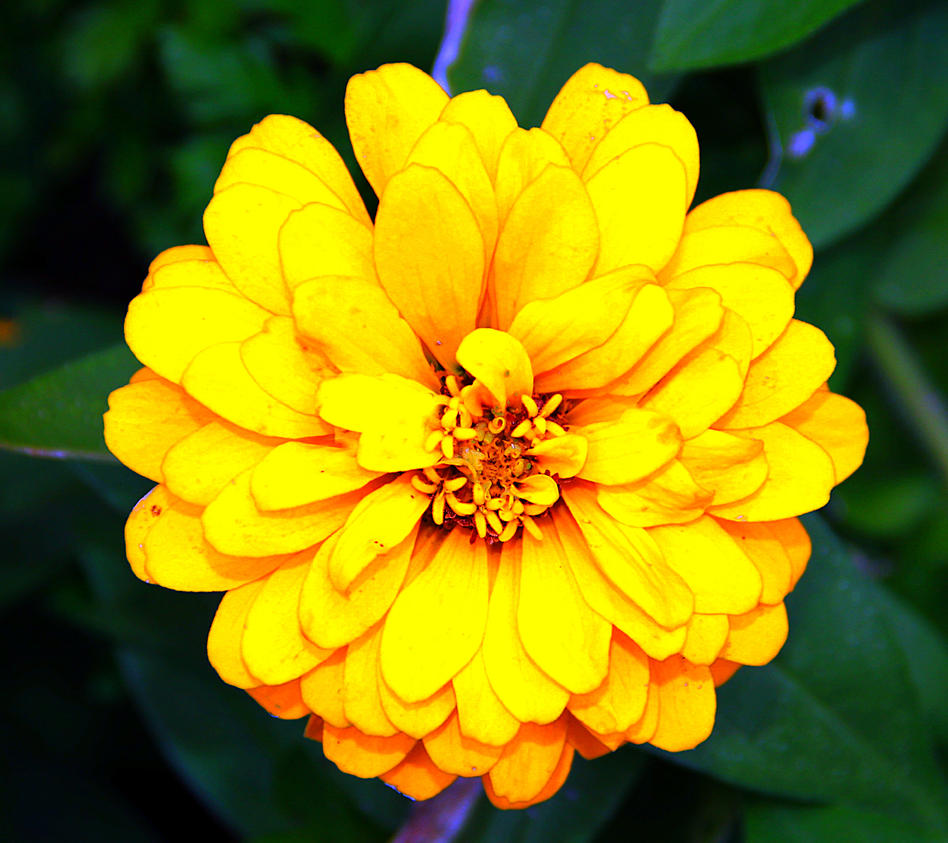 Yellow aster daisy by royalimageryjax on deviantart yellow aster daisy by royalimageryjax izmirmasajfo