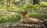 Lion cub by RoyalImageryJax