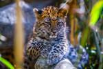 Baby Leopard by RoyalImageryJax