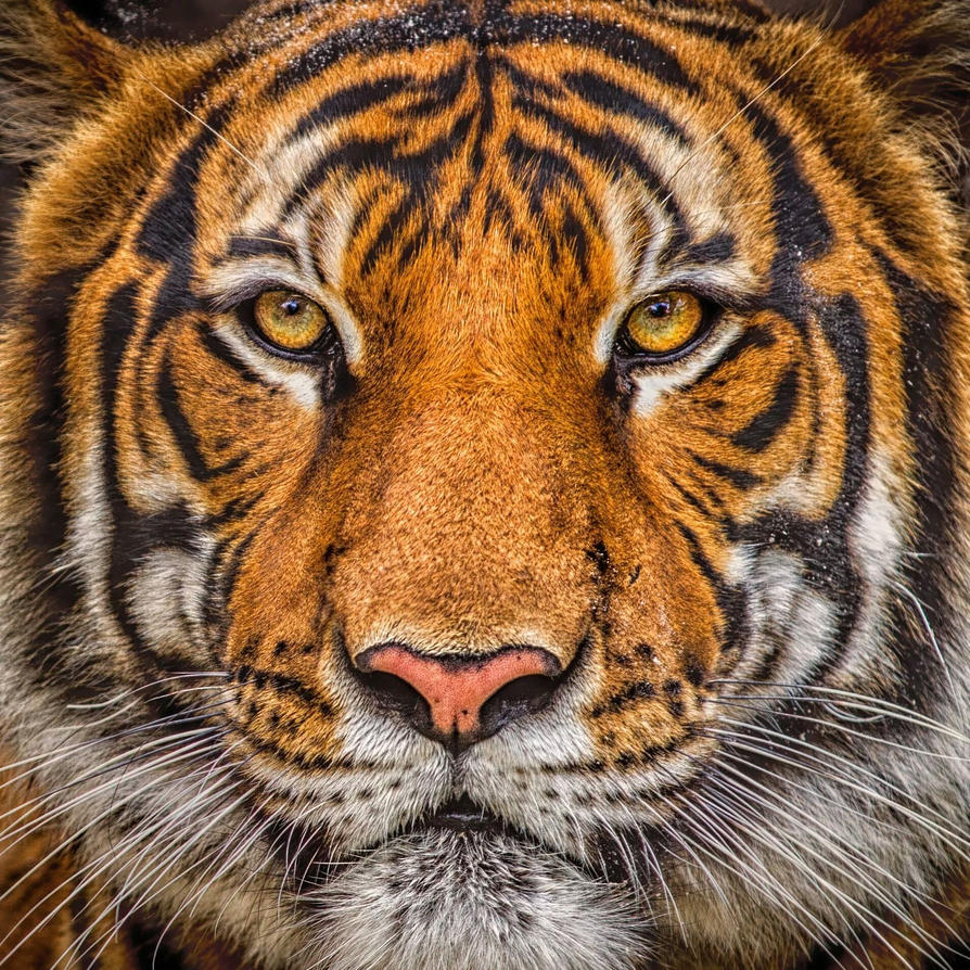 Tiger Portrait by 904PhotoPhactory