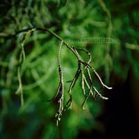 Evergreen by uvita
