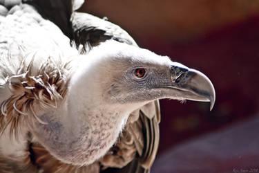 Vulture by KrisSimon
