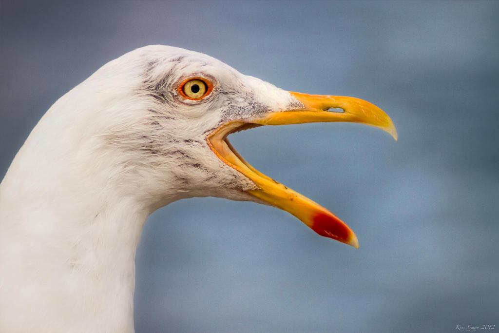 Steven Seagull by KrisSimon
