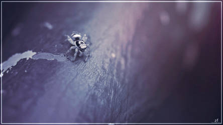 Jumpy Spider by KrisSimon
