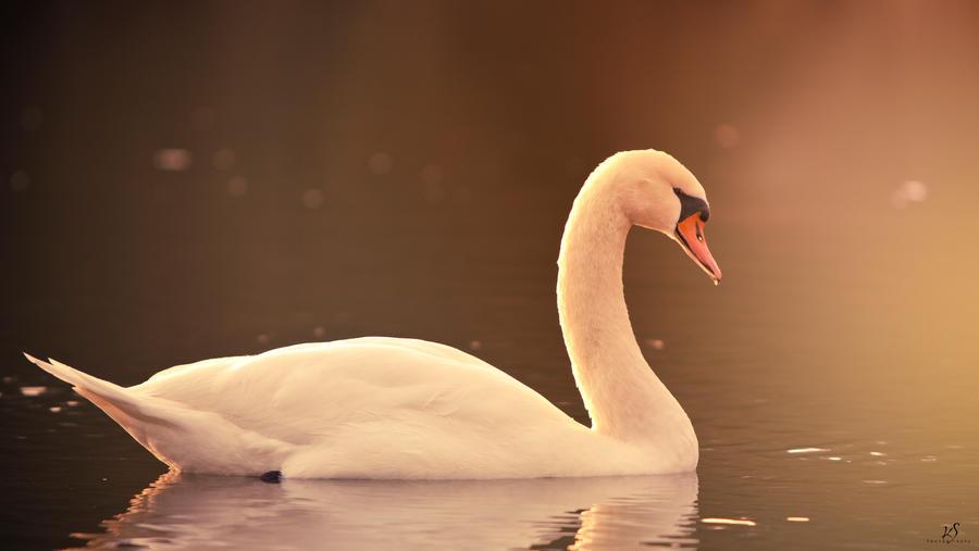 Swan II by KrisSimon