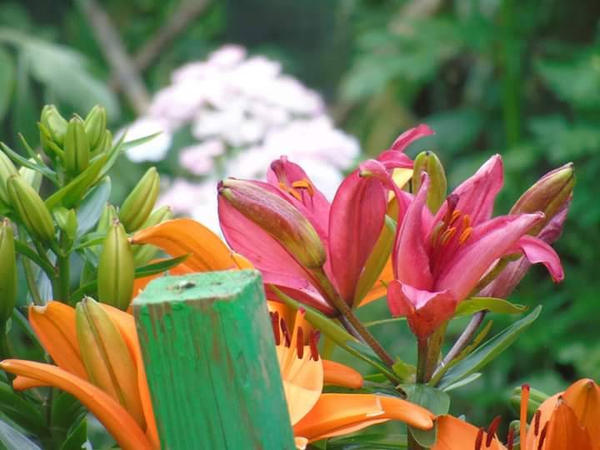 lilies  by kirk12Lumiere