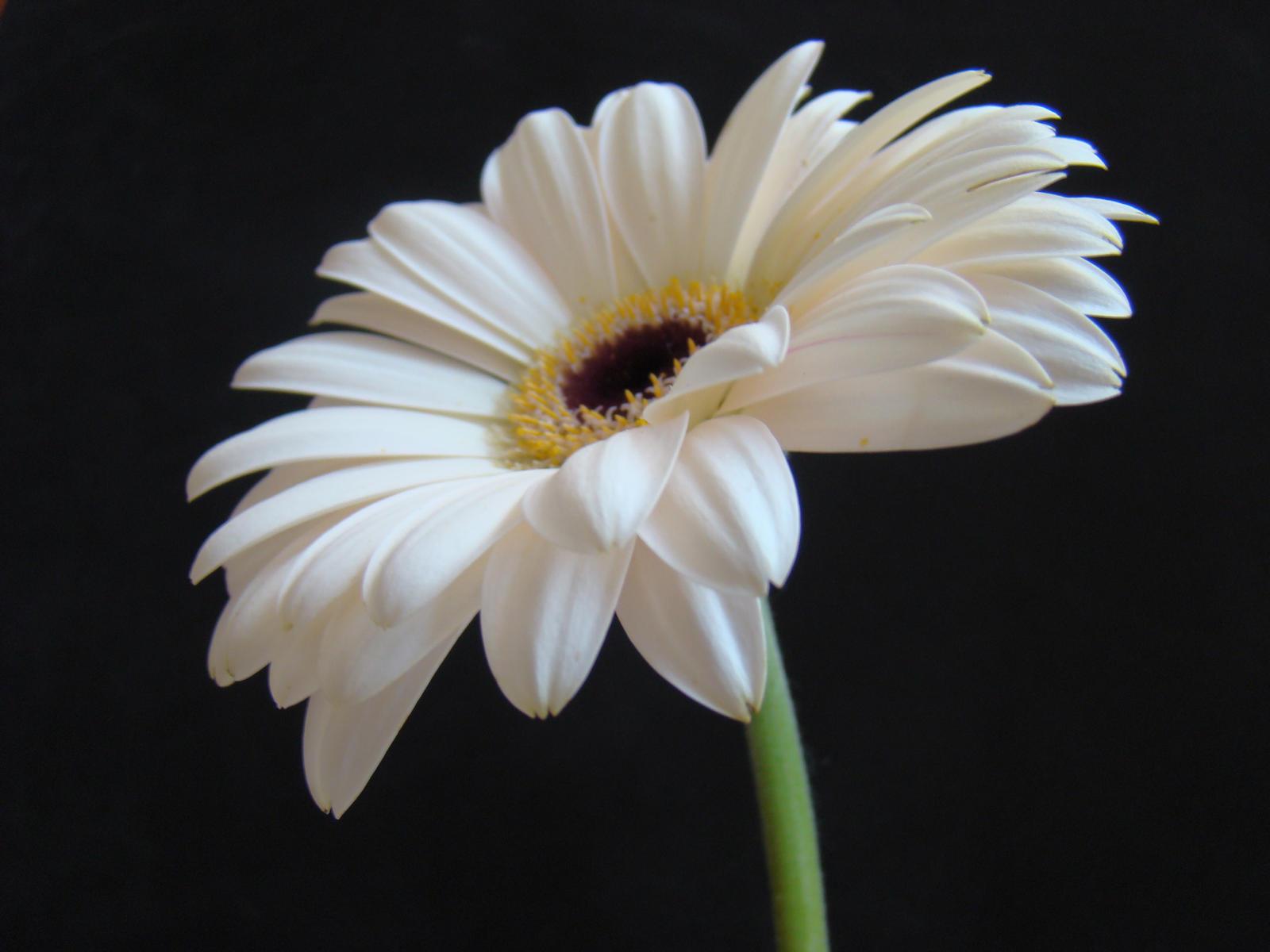White Gerbera Daisy Wallpaper Comousar