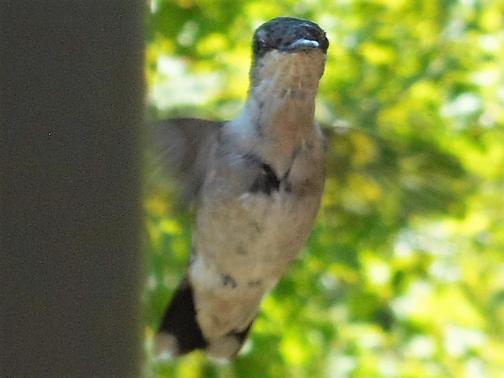 female ruby throated hummingbird by HyacinthMacaw