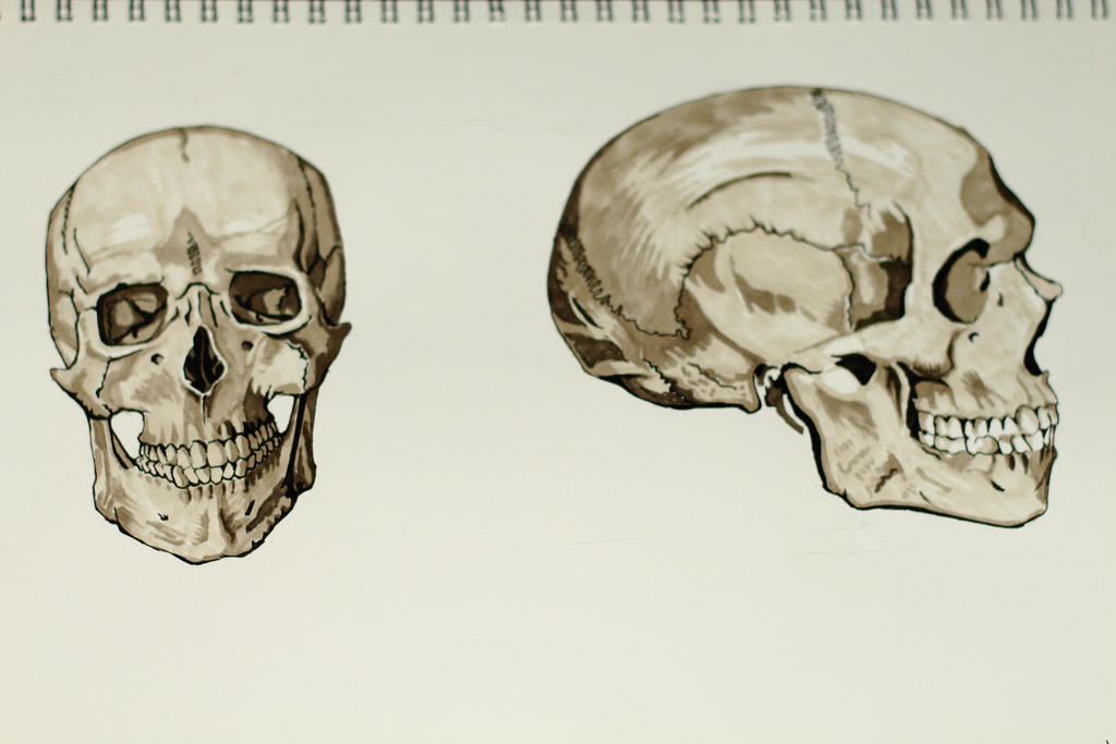 study drawing of the human skull by zekexxaod