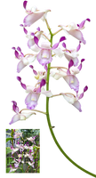 Orchid OR1