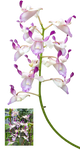 Orchid OR1 by IZSTEVE