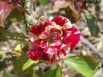 A George Burns Rose