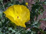 Yellow Prickly Poppy