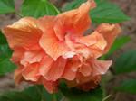 Peach Double Hibiscus