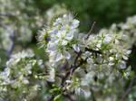 Creek Plum Blossoms