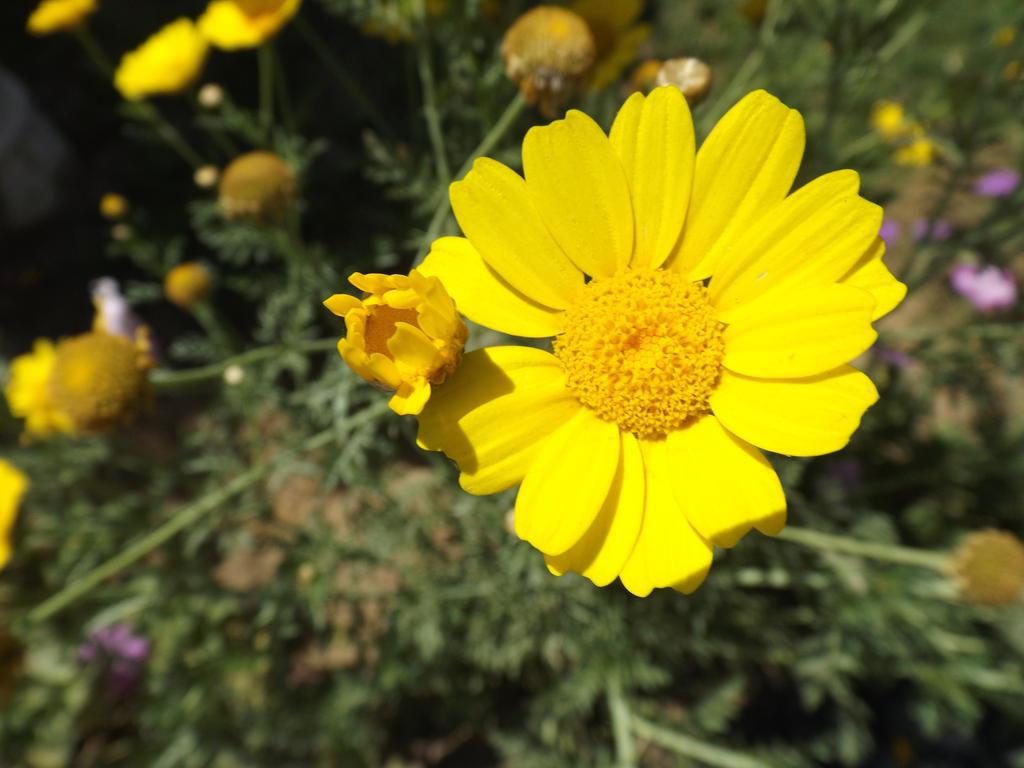 Sunflower by Sara0TH