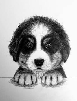 Bernese Pup