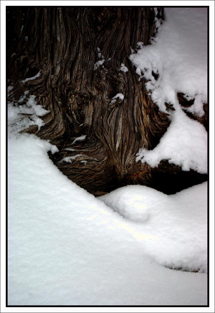Burly Cedar by ThomasM