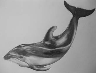 pacific white sided dolphin by alishamarie12