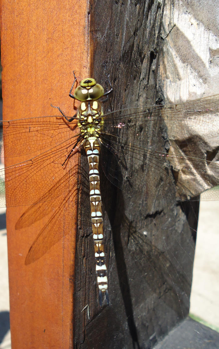 Dragonfly by Rossross1993
