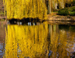 Weeping willow reflection in the water 01