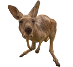 Kangaroo - PNG - Stock