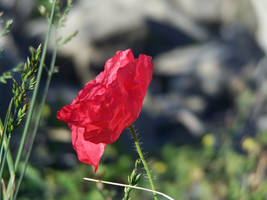 Rememberence flower 1 by Hermit-stock