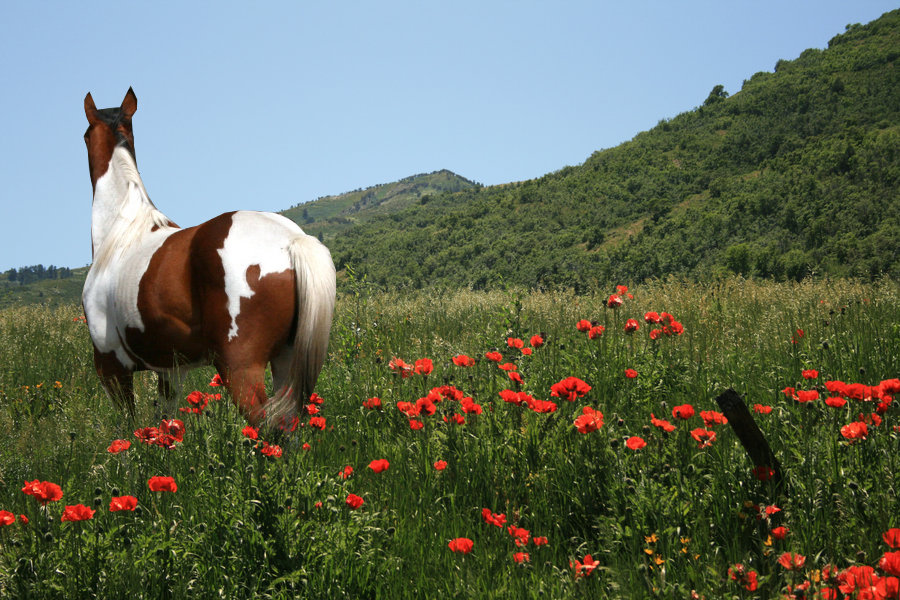 Paint Horse in Flower Field by black-bear-graphics on ...