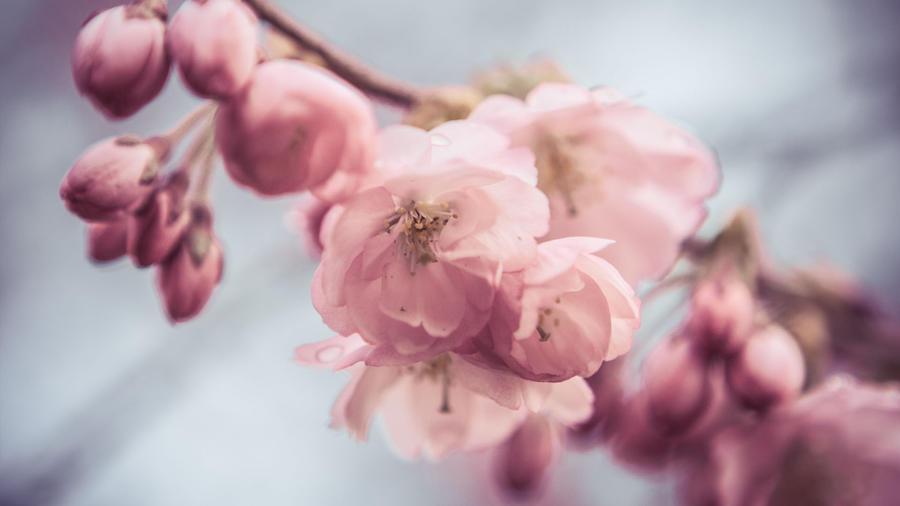 cherry blossom by Grabo23