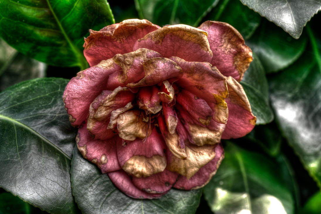 End of the rose - HDR image by JimPMM
