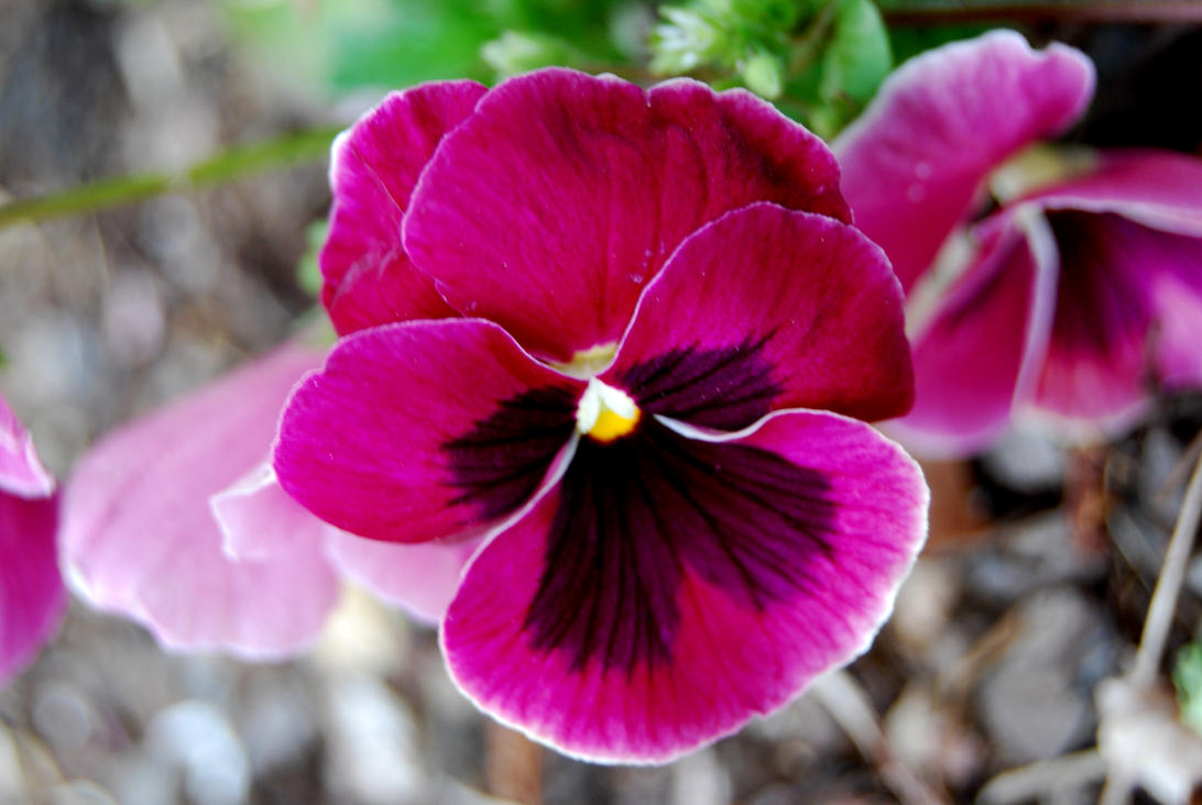 Pink pansy ii by ravennakeston on deviantart pink pansy ii by ravennakeston mightylinksfo Choice Image