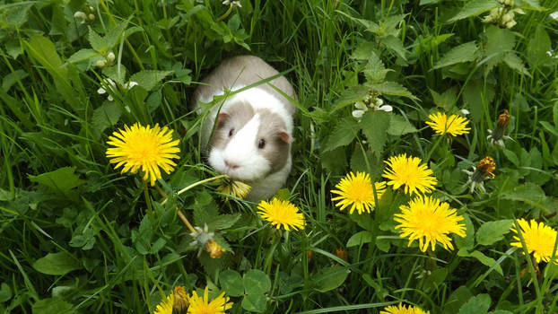 Peppa guinea pig amongst the dandelions