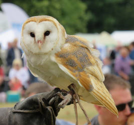Barn Owl  Ye Olde Redtail Falconry by Candyfloss-Unicorn