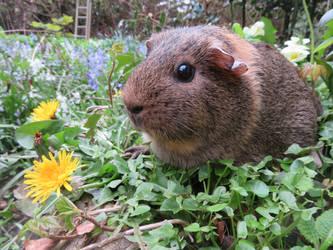 Mabel the agouti guinea pig