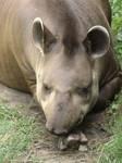 tapir by ludekb