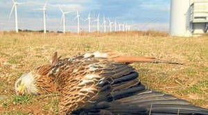 Wind Power Slaughter: ex-USFWS Agent Speaks Out