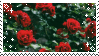 Roses by TRASHYADOPTS