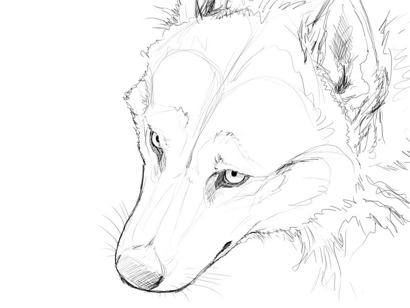 Line Drawing Wolf Face : Easy drawings of wolves faces imgkid the image