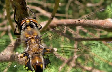 Dragonfly II by ceruleankangaroo