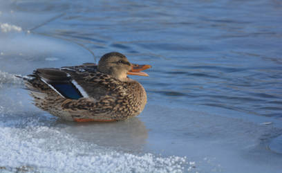 Quack! by ceruleankangaroo
