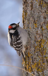 Downy Woodpecker Male by ceruleankangaroo