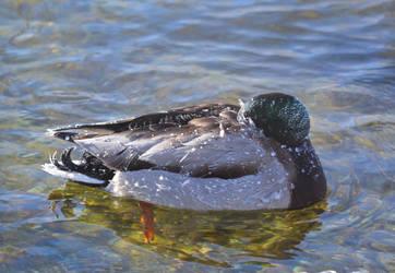 Keep Your Beak Warm by ceruleankangaroo